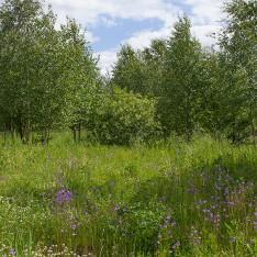 Полевые цветы на участке в поселке Сареево
